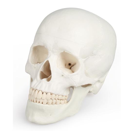 Crâne classique, 3 parties