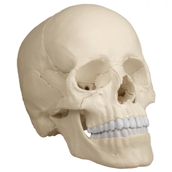 Crâne articulé, 22 pièces